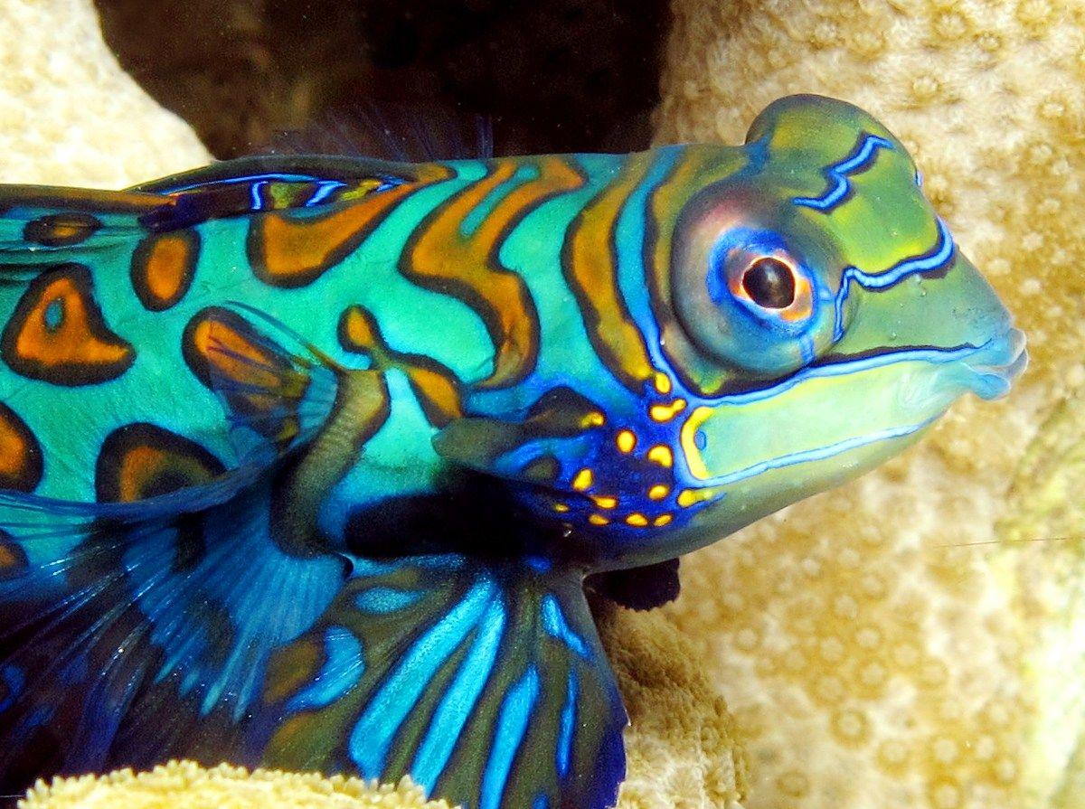 Mandarinfish - Synchiropus splendidus   Color in Nature: Water ...