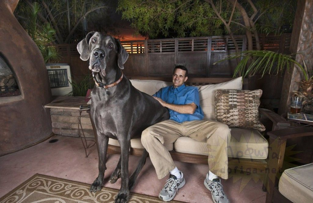 Humongous Dogs World S Largest Dog Great Dane Tallest Dog