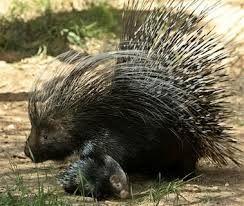 Porcupine Family Google Search Animals Dangerous Animals