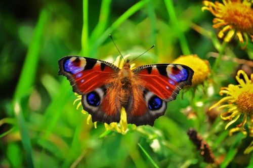 Slovenia butterfly