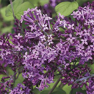 Bloomerang Dark Purple Syringa Lilac Bushes Syringa Lilac Tree