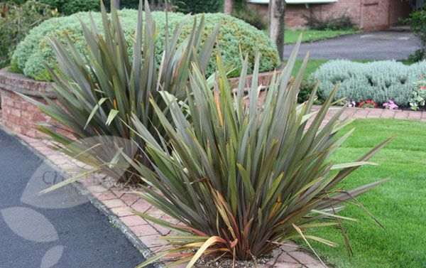 Phormium Tenax New Zealand Flax New Zealand Flax Cottage Garden Plants Plants