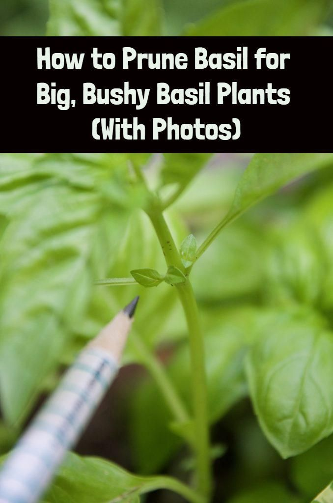 How to Prune Basil for Big, Bushy Basil Plants (With Photos) is part of Pruning basil, Basil plant, Harvesting herbs, Planting herbs, Growing basil, Plants - This little pruning trick will allow you to grow supersized basil plants so you can enjoy all the pesto you've ever dreamed of