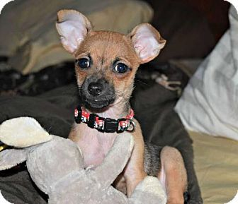 Durham, NC Chihuahua Mix. Meet Rocky, a puppy for