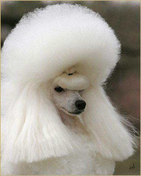1960's hair...lol...Poodle