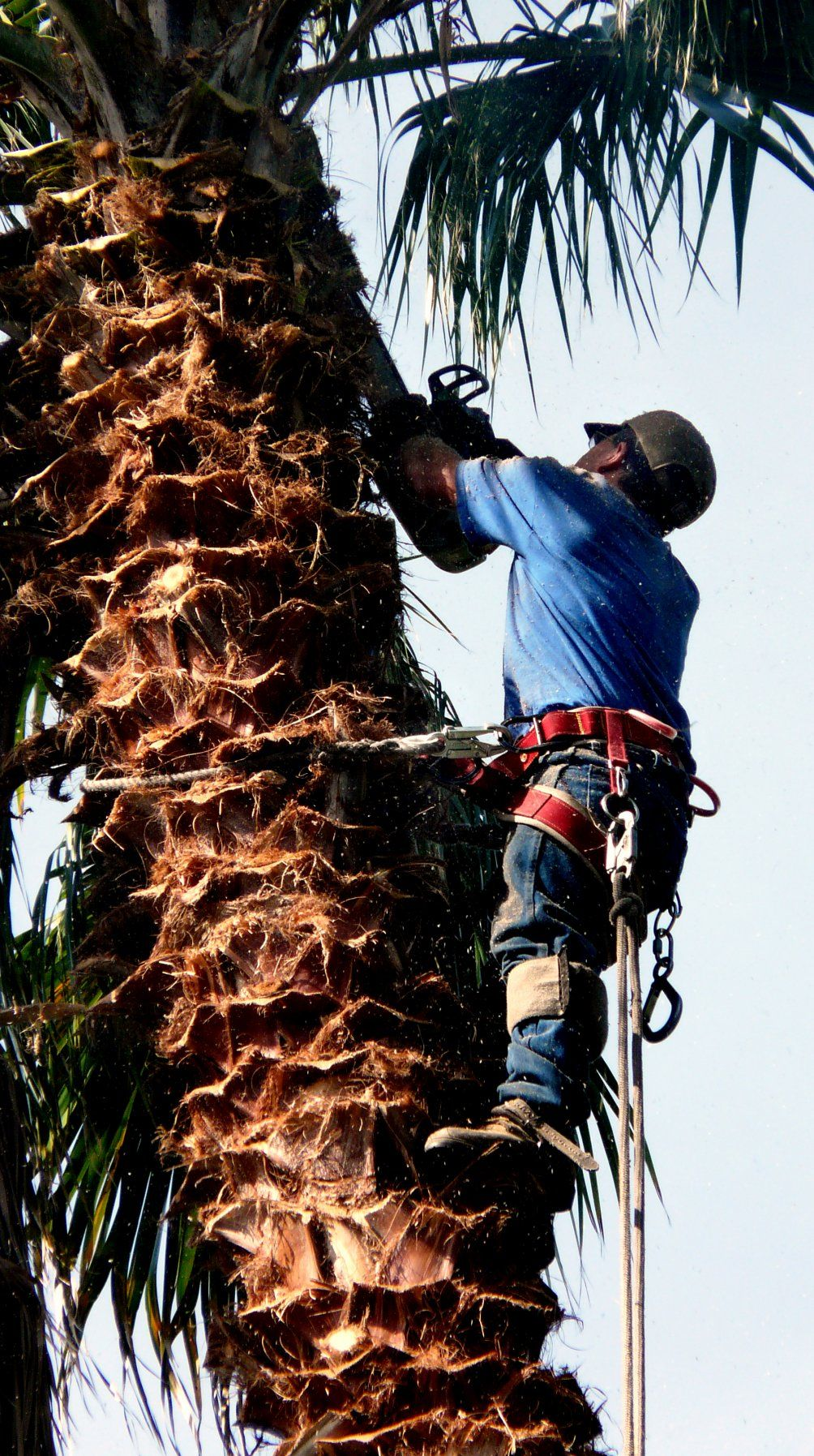Eric trimming palm tree palm trees