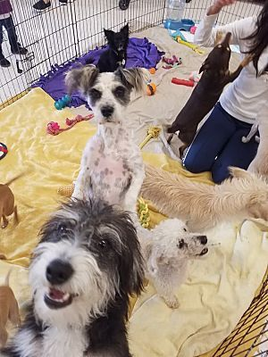 INLAND EMPIRE, CA *VALENTINO * a Tibetan Terrier for