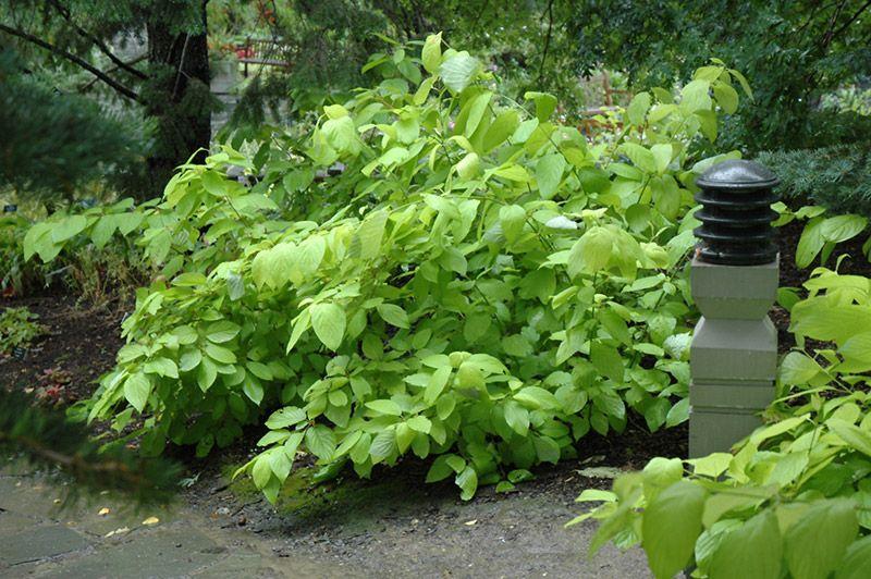 Garden Glow Dogwood (Cornus hessei 'Garden Glow') at