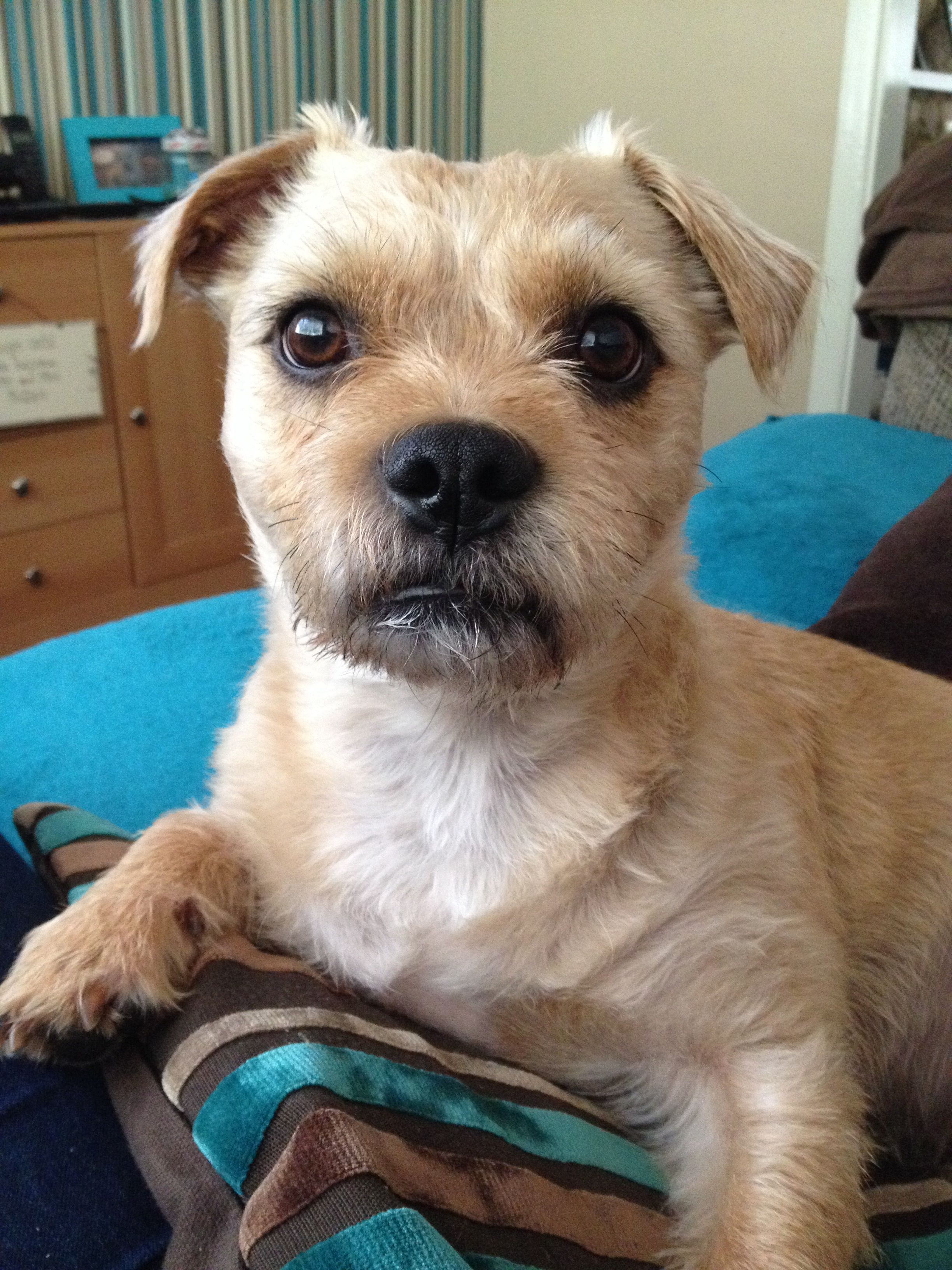 My Handsome Boy Milo Border Terrier X Pug X Jack Russel X Border
