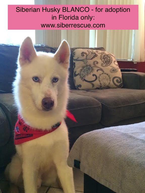 Tampabay Florida Siberian Husky Blanco For Adoption Www