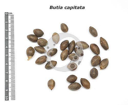 BUTIA CAPITATA #palm #seeds