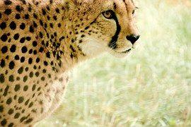 Gepardi, Afrikka, Kenia, Safari, Luonto