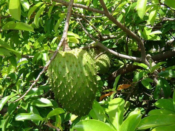 Graviola Tree      No matter what you call it -- guanábana