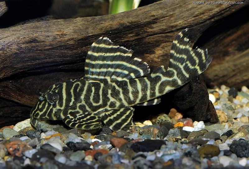 Hypancistrus Sp L333 Aquarium Fish Rare Fish Freshwater Aquarium Fish