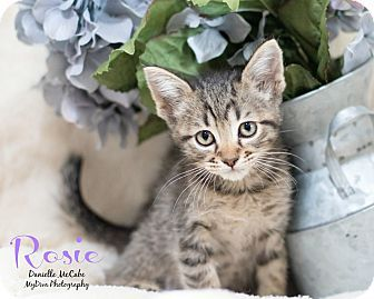 Domestic Shorthair Kitten for adoption in Los Angeles