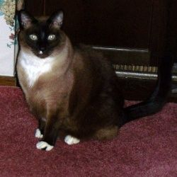 B B Is An Adoptable Siamese Cat In Rochester Mn My Story By B B Im A Seal Point Siamese Mix Boy Who Was Found As A Siamese Cats Seal Point Siamese Cats