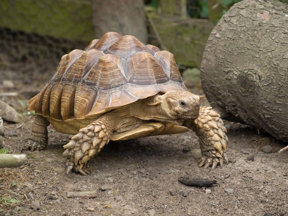 sulcata tortoise Animals Pinterest Sulcata tortoise