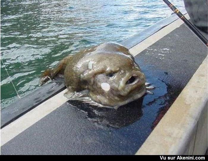 Poisson Lompe ou Lump - Smooth Lumpfish #Animaux #Etrange #Bizarre #Strange #oddities #Animal