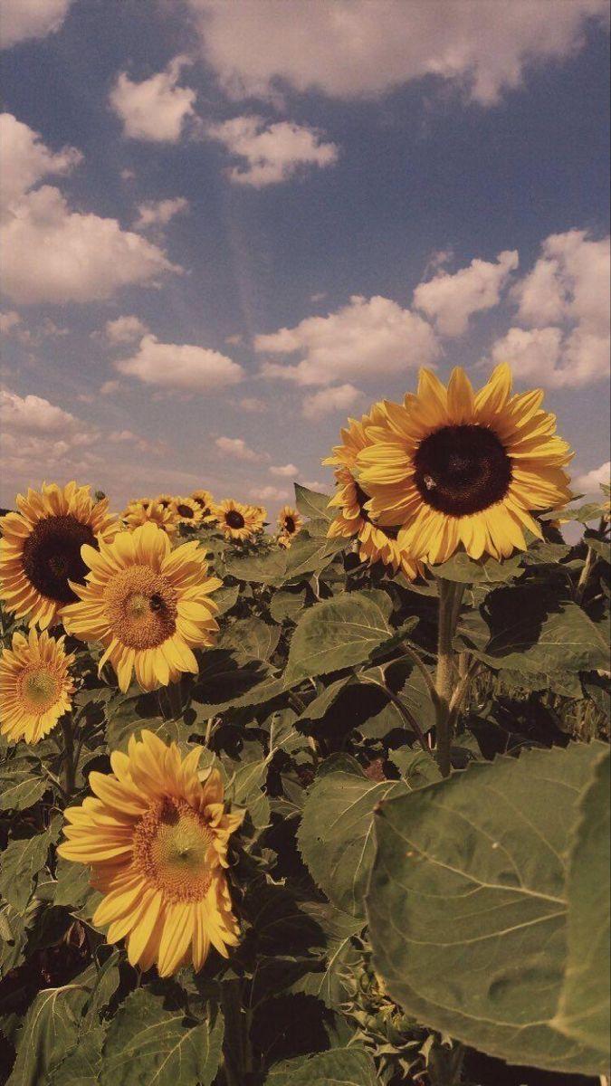 Vintage Sunflower Background In 2020 Sunflower Wallpaper Aesthetic Wallpapers Flower Aesthetic