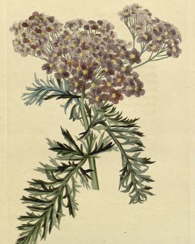 Common Yarrow Achillea Millefolium Var Occidentalis 1828 Flower Illustration Botanical Flowers Yarrow Flower