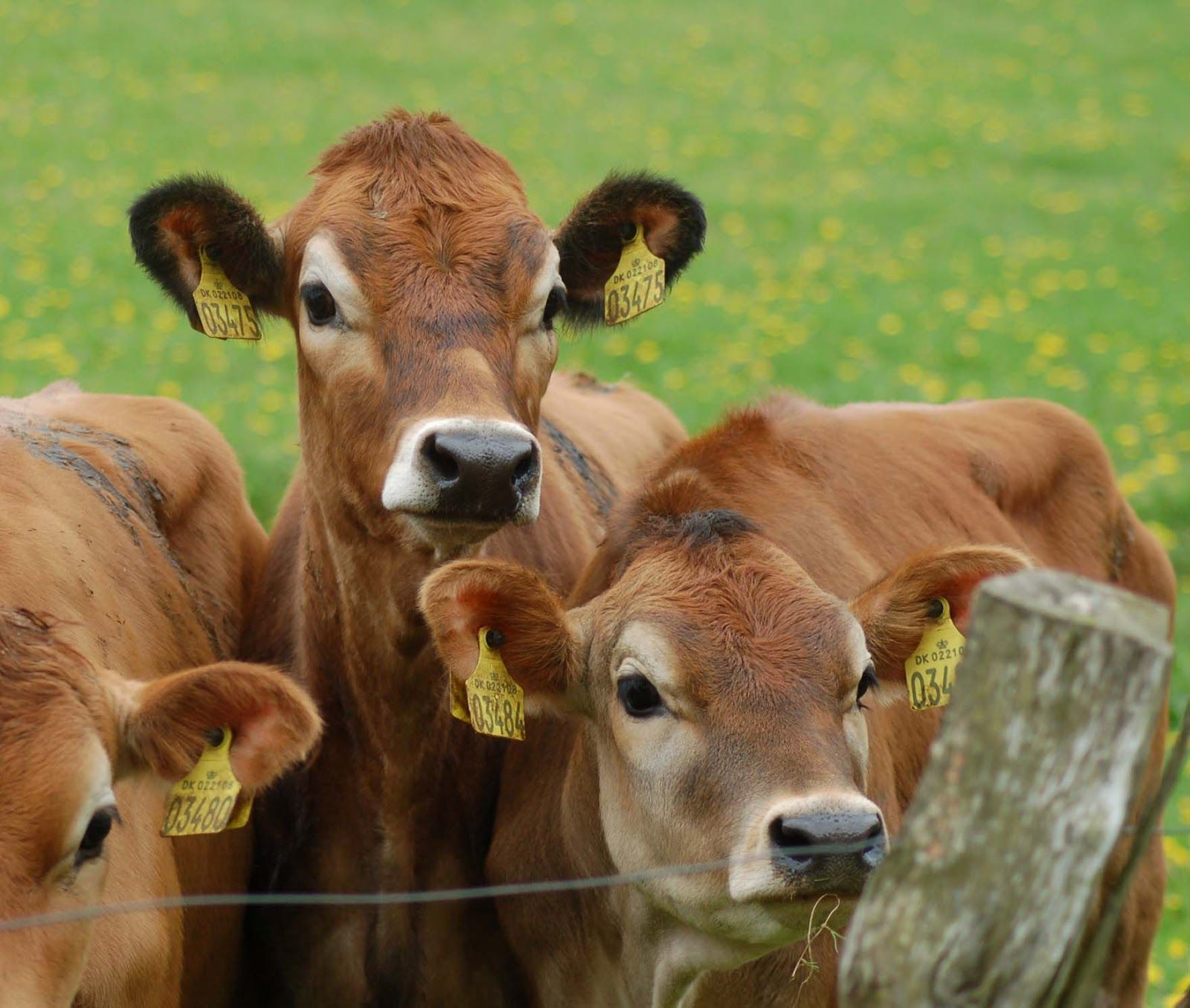 Those lovely Cows.. a little about the Jersey's