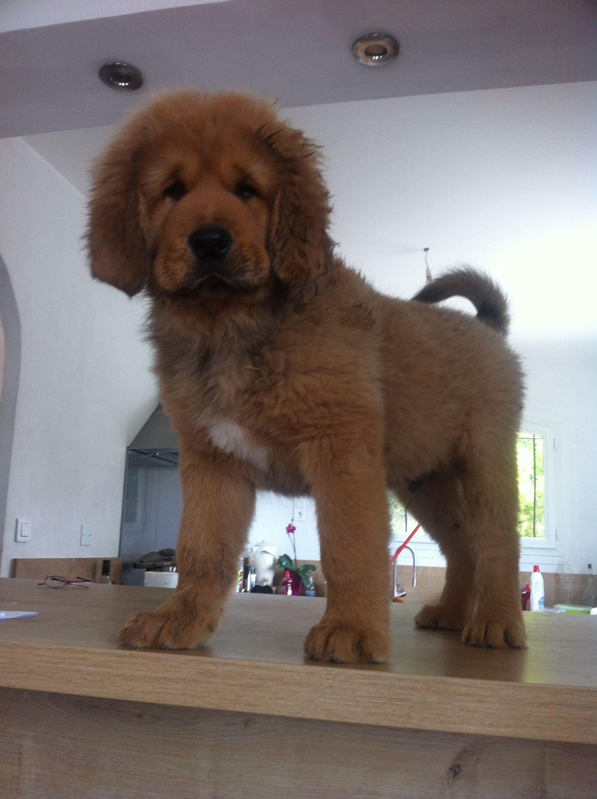 Little Lion Dogs For Sale