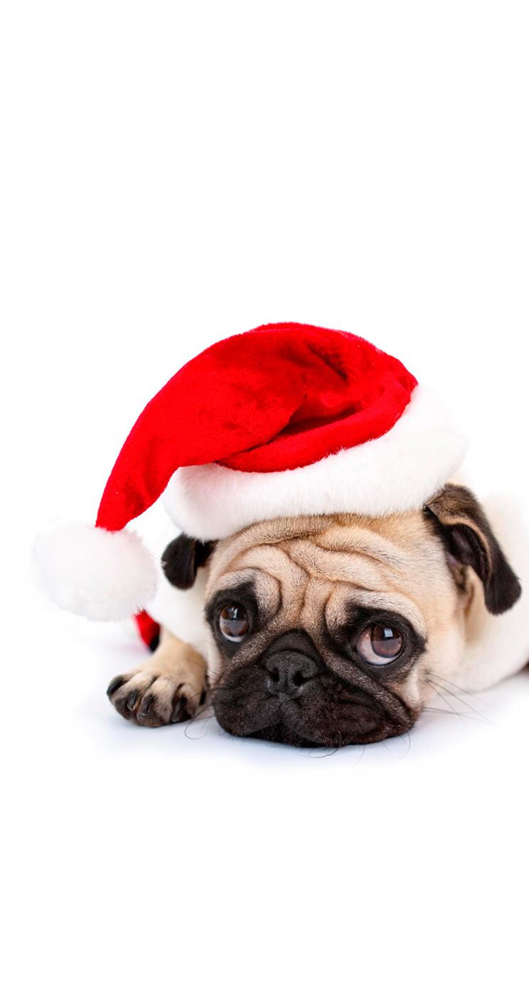 Pin By Nina Sh On Winter Time Pug Wallpaper Cute Pugs Christmas Dog