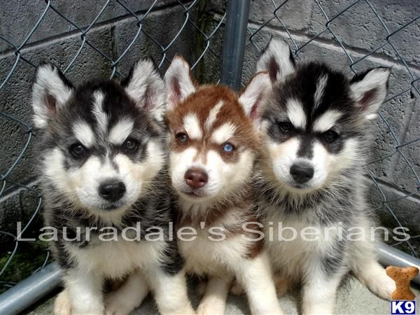 Miniature Siberian Husky Miniature Siberian Husky Puppies For Sale In Pa Love These Pic S Siberian Husky Puppies Husky Puppies For Sale Husky Puppy