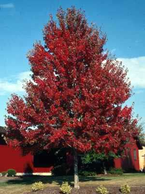 red maple tree for shape my dream farm in iowa. Black Bedroom Furniture Sets. Home Design Ideas