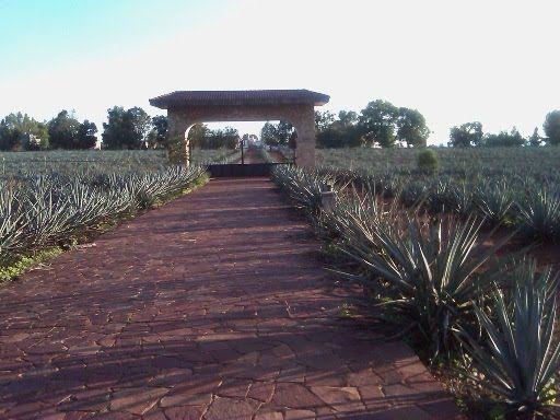 tequila is made from this plant agave.