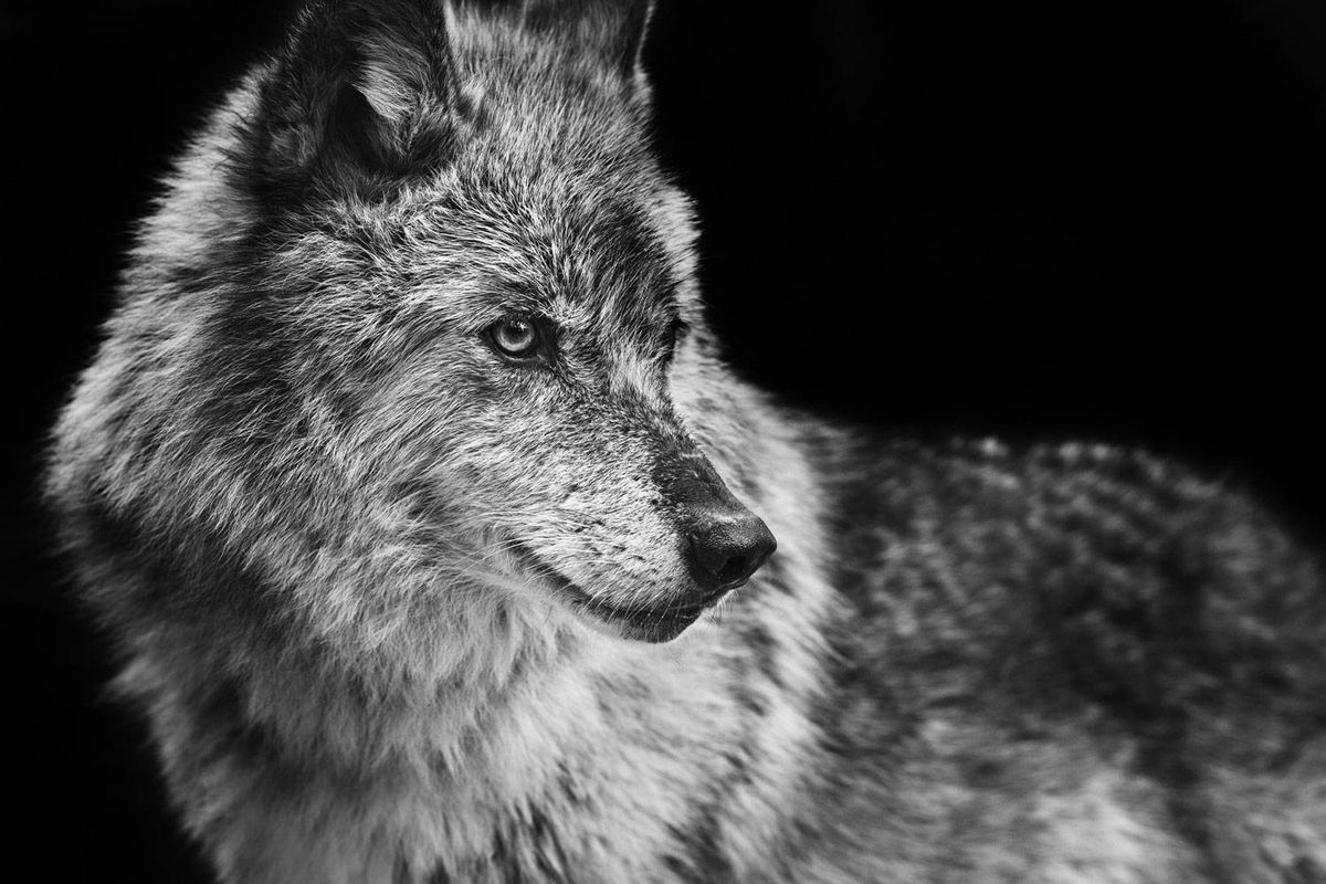 The wolf has become our scapegoat in the battle for the West