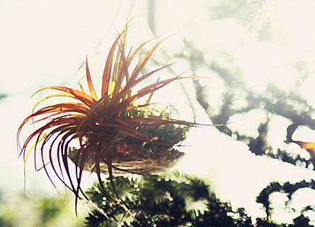 Cooler temperatures bring out the brightest shades in tillandsia, so now is the best time to enjoy this resilient air plant. Exotic in shape and size, tillandsia are able to thrive in a wide-range of temperatures and only need water every 2-4 days or a frequent misting.