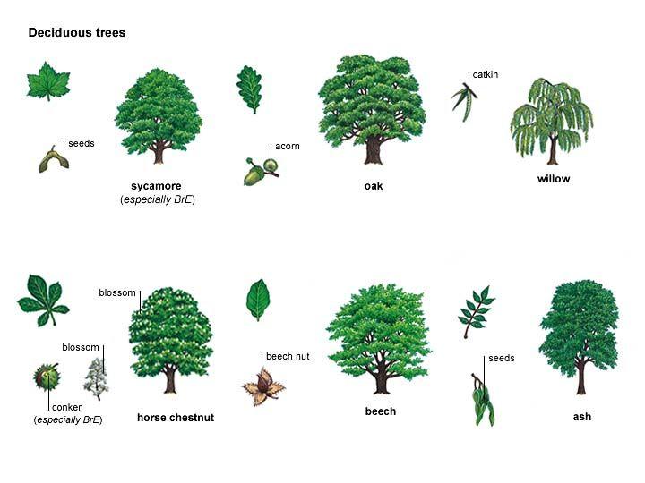 Ash noun definition pictures pronunciation and usage for Garden deciduous trees