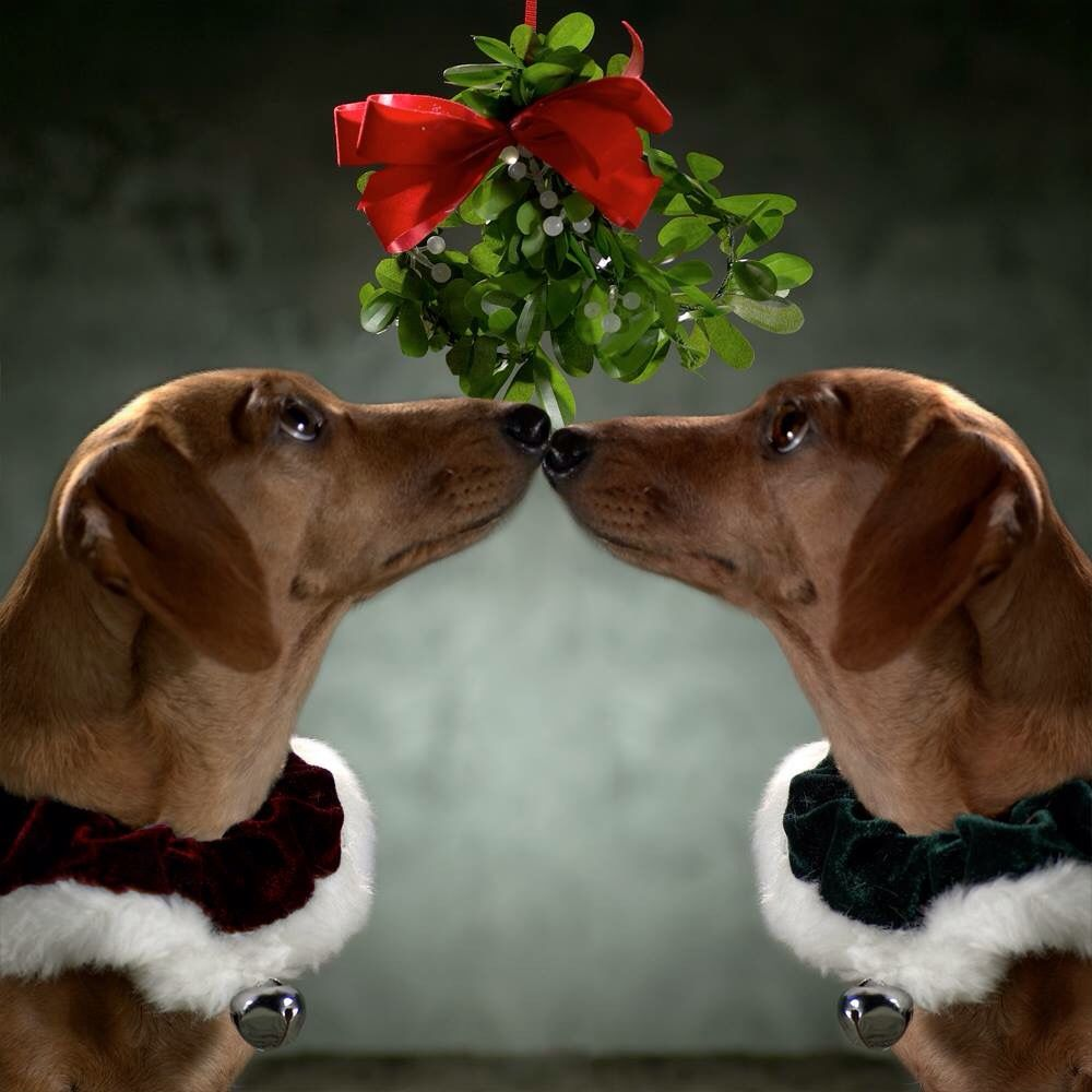Christmas Doxies kisses under the mistletoe!