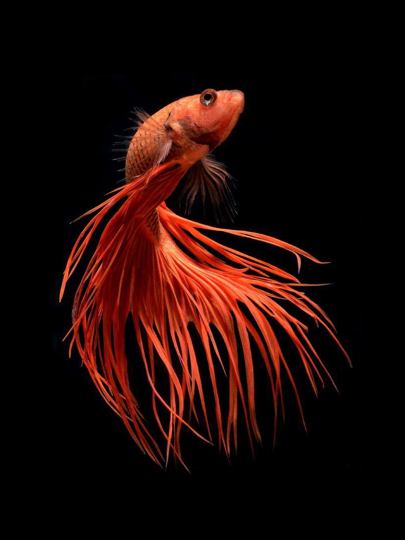 Orange crowntail betta fish by visarute angkatavanich | Stunning ...