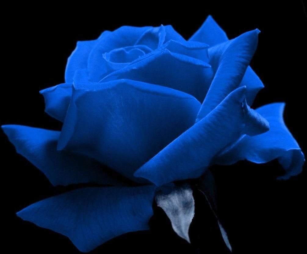 Blue Rose Flores Lindas Rosas Cores