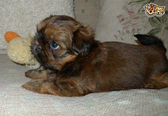 Chocolate Orange Imperial Shih Tzu Boy Puppy York North Yorkshire Pets4homes Imperial Shih Tzu Shih Tzu Puppy Puppies