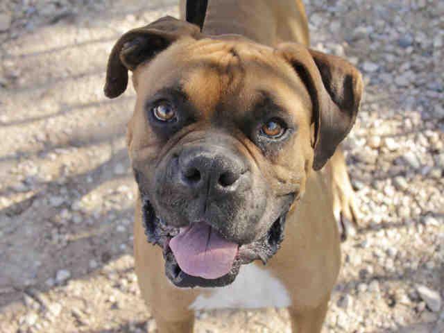 Adopt a Dog Boxer Dog adoption, Dogs, Boxer