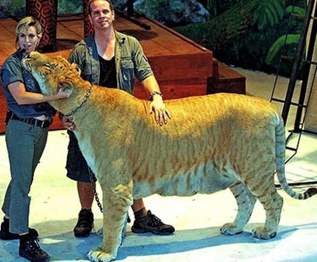 This amazing crossbreed between a male lion and a female tiger is the hybrid Liger. They are the biggest of all the big cats, growing to almost the lion and tigers combined size.