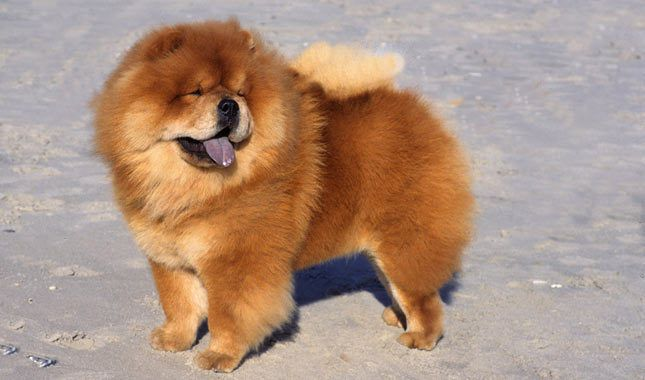 Chow Chow Breed Information Chow Chow Dogs Chow Dog Breed Dog