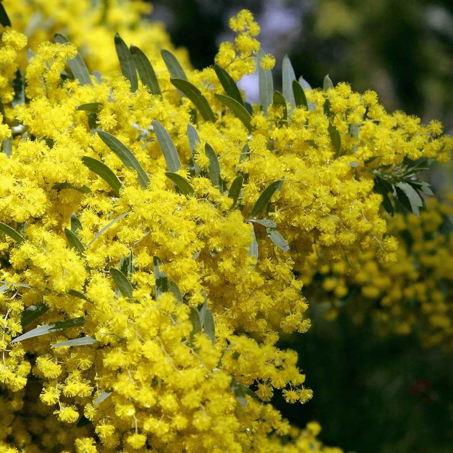 Acacia Covenyi Acacia And Natives Pinterest Acacia Small
