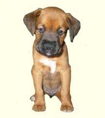 Chihuahua For Sale Craigslist Nj - Pets Lovers