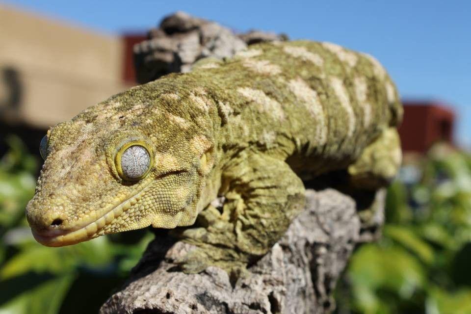 Leachianus Gecko Cute Reptiles Reptiles Gecko