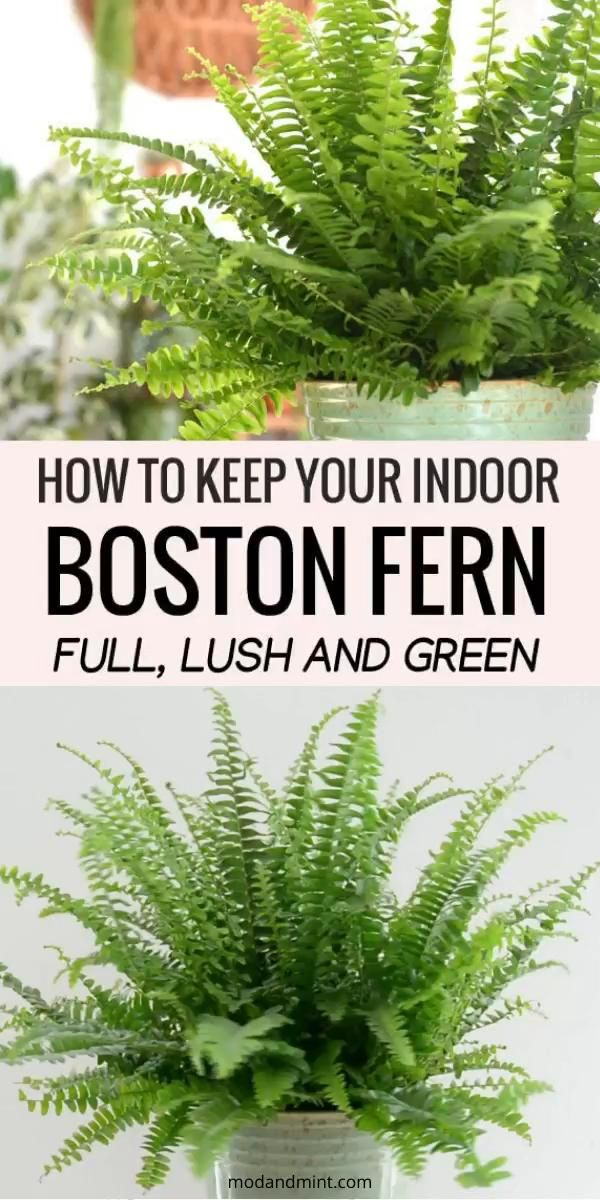 Photo of Indoor Boston Fern Care – Keep your Fern Lush and Green