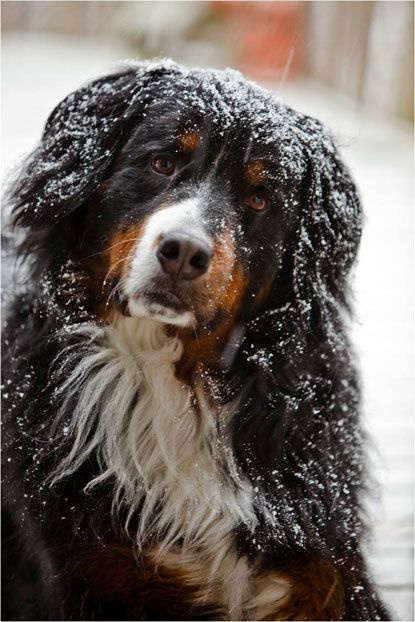 Monty, a Bernese mountain dog from St. Clair Shores, Michigan