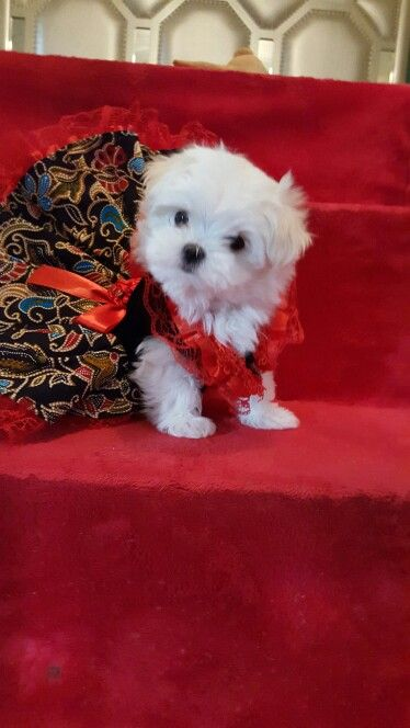 Micro Maltese On The Red Carpet Teacup Puppies For Sale Teacup Puppies Pup