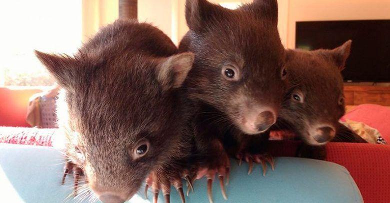 Adorables wombats huérfanos | La nube de algodón