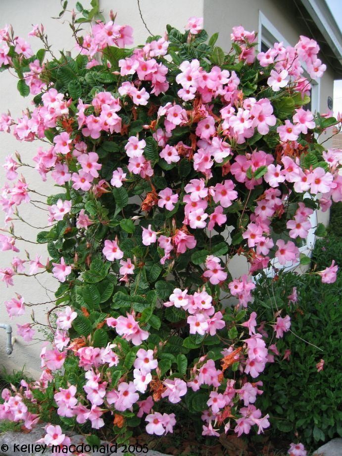 Today S Bloom Is Mandevilla Alice Dupont Mandevilla X Amoena Flowering Vines Planting Flowers Flowers