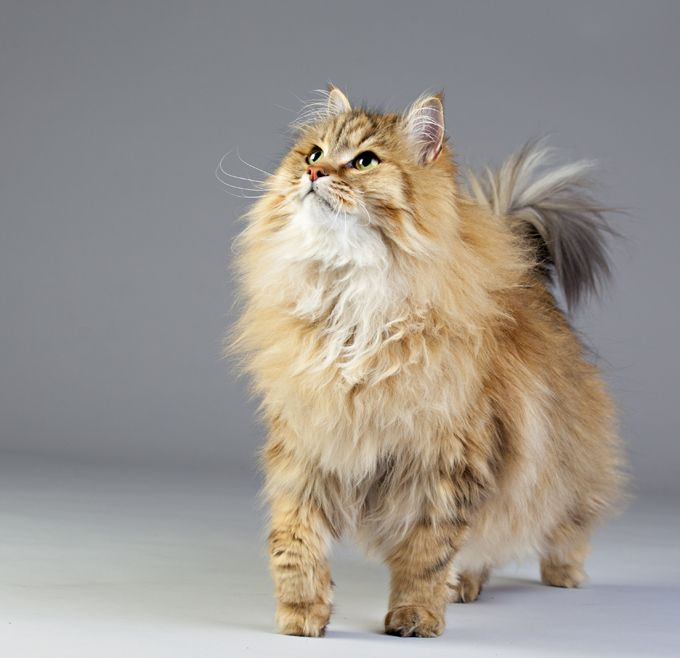 Siberian Cat Breed Information Pictures Characteristics Facts Cat Breeds Cat Facts Siberian Forest Cat