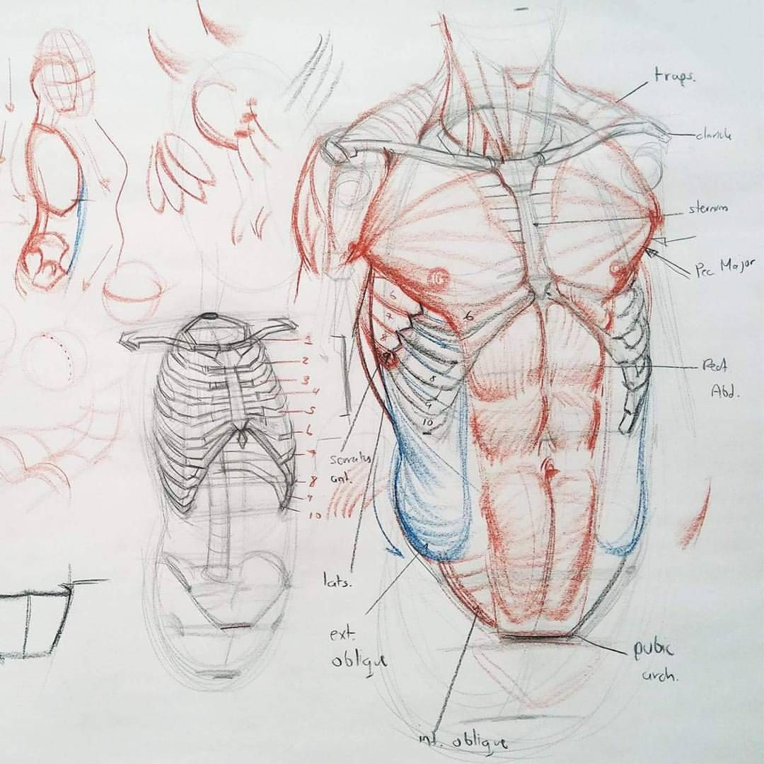 Detail Of This Torso Construction Demo Art Drawing Sketch Figure